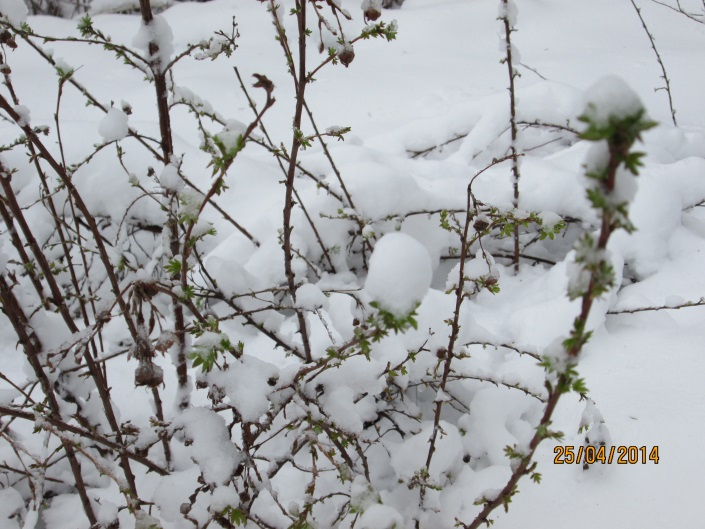 25 апреля выпал снег