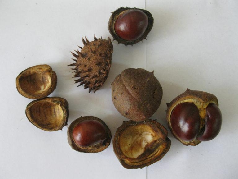 Семена и плоды каштана