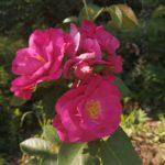 рис. 1. канадская роза Джон Кэбот