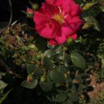 рис. 2. канадская роза Генри Келси